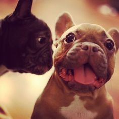 'Secrets between Friends', French Bulldogs