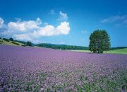Lavender Plantation Wall Mural DS8025