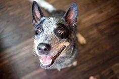 """Blue Heeler  He kinda looks like the """"dog tease"""" dog!"""