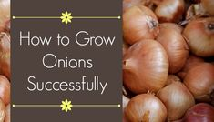 If you want to make room for onions in your garden, learning a few things about their growth will make a big difference in growing onions successfully.
