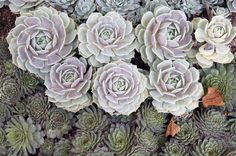 The #1 reason succulents die is because they've gotten too much water. Here are tips on how to take care of succulents and terrariums. When to water and more.