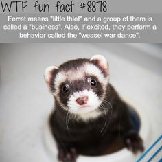 The meaning of Ferret - WTF fun facts children and images free, pets and qatar living cargo, cute pets and funny compilation 2016 enfants siamois, people and pets gathering worship resources for father's day message. Ferrets Care, Funny Ferrets, Cristina Scabbia, Cats Tumblr, Tumblr Funny, Wtf Fun Facts, Funny Facts, Crazy Facts, Random Facts
