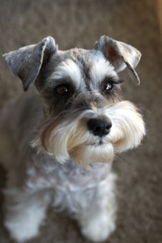 Miniature Schnauzer by With Clair Sarah. looks just like my 14 yr Schnauzer Schnauzer Mix, Miniature Schnauzer Puppies, Schnauzer Grooming, Standard Schnauzer, Beautiful Dogs, Animals Beautiful, Cute Animals, Cute Puppies, Cute Dogs