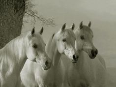 Photo of Three White Arabian Horses