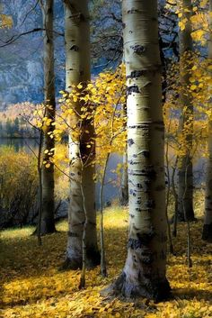 ★ mine is the night, with all her stars ★ : Photo The post ★ mine is the night, with all her stars ★ : Photo autumn scenery appeared first on Trendy. Landscape Photos, Landscape Art, Landscape Paintings, Landscape Photography, Nature Photography, Birch Tree Art, Beautiful Places, Beautiful Pictures, Aspen Trees