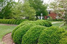 Buxus microphylla var. japonica 'Green Beauty' Green Beauty Boxwood