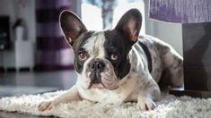 Boston Terrier, French Bulldog, Dogs, Animals, Dog, Animales, Animaux, French Bulldog Shedding, Pet Dogs