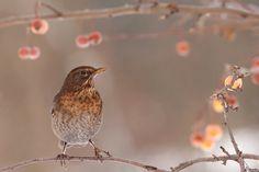 drossel Singvogel Vogel Weibchen winter