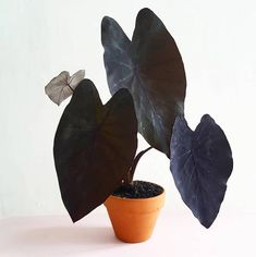 Colocasia esculenta Schwarze Magie – Balkon Fassade – – Best Garden Plants And Planting Unusual Plants, Cool Plants, Indoor Plants, Garden Plants, Magic Flower, Plantas Indoor, Cactus Plante, House Plants Decor, Plants Are Friends