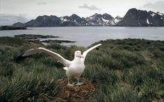 Wandering Albatross - Antartica
