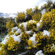 18 de mato #piornoenflor # nieve #GREDOS