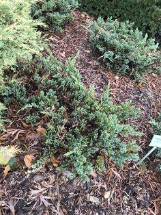 Juniperus squamata Blue Spider/  Можжевельник чешуйчатый Блю Спайдер  Серебристо-голубой карликовый можжевельник. В высоту достигает 0,3 м. и диаметром 1 м.  Неприхотливый и миниатюрный хвойный кустарник.