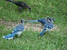 Blue Jays in our back yard eatting what the other birds are knocking out of the feeder.