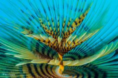 Spiral του Marco Gargiulo (Ιταλία). Η Sabella spallanzanii είναι ένα είδος θαλάσσιου σκουληκιού (πολυχαίτης), το οποίο εκκρίνει βλέννα σχηματίζοντας έναν σκληρό, αμμώδη σωλήνα που προεξέχει από την άμμο. Φωτογραφία: Marco Gargiulo/2016 Wildlife Photographer of the Year