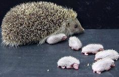 Hedgehog and her babies     ᘡղbᘠ