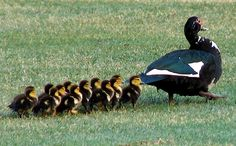 Mom, leading her baby ducks. Farm Animals, Cute Animals, Muscovy Duck, Baby Ducks, Farms Living, Mellow Yellow, What Is Life About, My Animal, Pet Birds