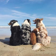 Find Out More On The Australian Shepherd Puppies Health Australian Shepherd Puppies, Aussie Puppies, Cute Dogs And Puppies, I Love Dogs, Doggies, Mini Australian Shepherds, Corgi Puppies, Beautiful Dogs, Animals Beautiful