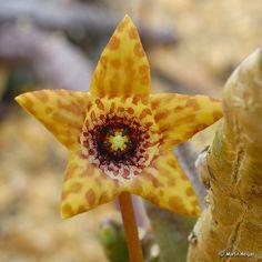 Tromotriche umdausensis flower by Martin_Heigan, via Flickr