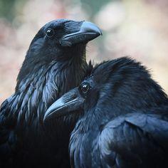 Raven Bird, Crow Bird, Reptiles, Mammals, Scary Birds, Raven Photography, Animal Action, Jackdaw, Crows Ravens
