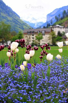 Tulips in Interlaken, Switzerland.