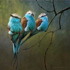 Beautiful colors. Racquet Tailed Rollers by R Christopher Vest