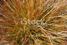 Close-Up of Tussock Grass Royalty Free Stock Photo