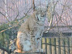 Lynx by Romuald Statkiewicz