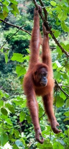 The Zoo is home to the world's largest group of Orangutans