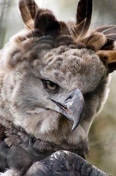 Harpyie  (?)