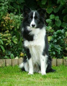 Handsome collie