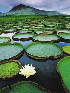 Amazing Pantanal Conservation Area lily pads in Brazil