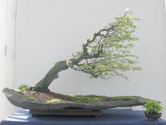 Unique deciduous Bonsai - Windswept to the extreme