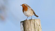 Hear 5 minutes of birdsong: Listen out for the robin © National Trust Images/Ross Hoddinott