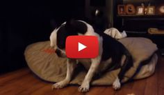 Sleepy Boston Terrier Tries to Fight Sleepiness (Video) - Watch the Video here ► http://www.bterrier.com/sleepy-boston-terrier-tries-to-fight-sleepiness-video/ - https://www.facebook.com/bterrierdogs