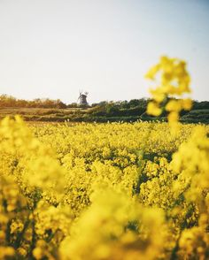 ust off the German coast of the North Sea sits the island of Föhr, where Thomas admires this golden yellow landscape on a Spring day.