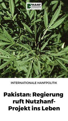 Anders als die meisten europäischen Regierungen erkennen weltweit immer mehr Staaten das wirtschaftliche Potenzial, das mit dem nachwachsenden Rohstoff Hanf verbunden ist. Pakistan, Herbs, Hemp, Politics, Life, Herb, Medicinal Plants