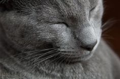Content Russian Blue. | Animals Pictures