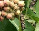 Monarch larva on common milkweed. All photos: Patrick Voyle.
