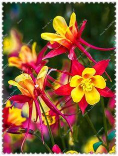 200pcs/bag potted barlow Columbine aquilegia seeds Perennial flower seeds, bonsai plants home garden