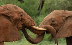 two african elephants in Tanzania, East Africa touch each other with. Intelligence Quotes, Emotional Intelligence, All About Elephants, Elephants Photos, African Elephant, Greek Quotes, East Africa, Tanzania, In This Moment