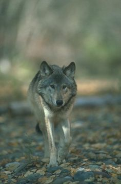 on All About Wolves  http://www.all-about-wolves.com/wp-content/gallery/free-wolf-photos-and-wallpaper/wolf_90_big.jpg