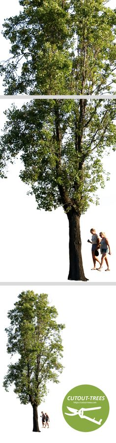 2546x 5379 Pixels. Black poplar tree. Transparent background and separated layers for people, tree and background. Populus nigra En: Black poplar; Fr: Peuplier; Pt: Choupo negro; Es: Álamo negro. De: Schawrze Pappel; Nl: Italiaanse populier.