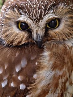Saw-whet owl this is my favorite owl it is one of the tiniest and this is my favorite pose.
