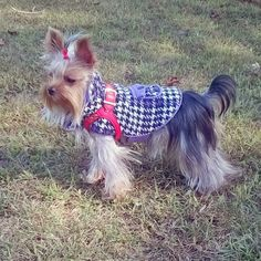 Boo braves the autumnal winds at the dog park.  #Yorkie #yorkies #Yorkshire terrier #yorkiesofinstagram