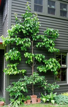 This is an Asian pear tree, that has been espaliered on a home. It looks great and produces amazing delicious fruit in neat layered rows to pick from. So-o-o yummy.