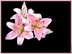 Fleur lys lys trio 1