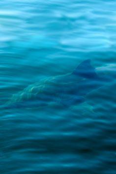 Great White Shark  Arend van der Walt