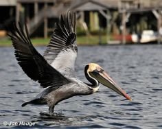 A funny bird is the pelican, his beak holds as much as his belly can... #RideColorfully