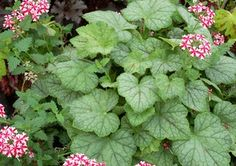Heucherella, the cross between heuchera and tiarella, is catching on both in the landscape as a groundcover and in containers as a colorful trailing plant. Grow them successfully with these tips. Coral Bells, Heuchera, Shade Garden, Vegetable Garden, Hydrangea, Bloom, Nursery, Herbs, Fall