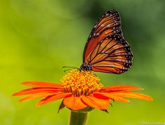 Photo Orange Butterfly by Bruce Harting on 500px